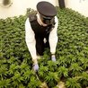 Cannabis legalisation
